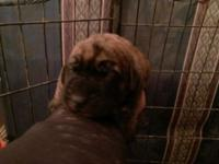 Beloved Akc English Mastiff puppies born Feb 4th 1