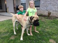Male English Mastiff, 1.5 years old and 150 lbs. He is