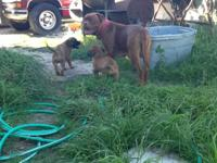 I have 2 beautiful huge English/French Mastiff puppies.