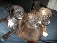 English Mastiff mix puppies. Family raised, and they