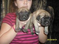 We have 2 English Mastiff pups both males. They were