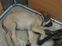 English Mastiff pup fawn male ready friday 6 / 19 akc