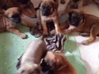 Old English Mastiff puppies for sale! 7 females and 3