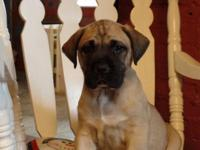 English Mastiff Puppies Full Blooded not reg. 8 weeks