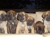 10 pups available:6 males fawn&brindle, 4 brindle