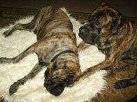 I have 3 cute little male English Mastiffs that are