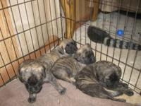 AKC English Mastiff Puppies Born 10/6/12 2 Males and 2