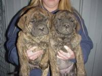 I have two brindle female puppies ready to go home now.