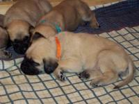 We have a litter of beautiful little AKC English