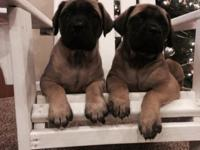 I have English mastiff puppies for sale that are very