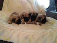 *English Mastiff puppies * Ready for their new homes
