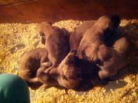 We are offering an amazing litter of English Mastiff