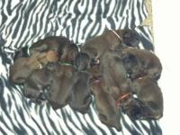 Have a litter of purebred AKC English Mastiff puppies