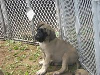 We have two brindle boy English Mastiff puppies that