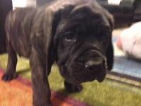 Complete blooded English Mastiff new puppies. 10 weeks
