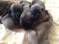 Stunning English Mastiff puppies for sale. Born on