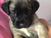 3 stunning, sweet female English Mastiff young puppies