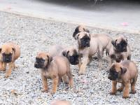 I have Enlgish Mastiff puppies for sale in Saint