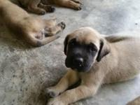 English Mastiff puppies for sale. I have 4 males and 1