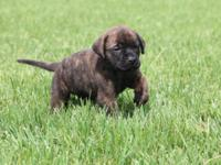 Hello. We have 3 puppies left! We have 2 brindle