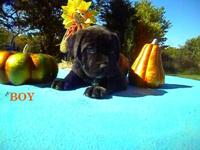 We have English Mastiff puppies for sale. Father is