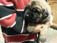 These sweet English Mastiff puppies will be 8 weeks old