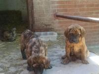We had 5 Females and 1 Male Apricot Brindle Mastiffs.