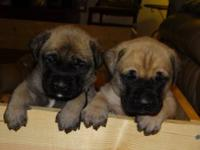 We have AKC registered English Mastiff puppies born on