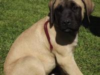 English Mastiff puppies born on 07/03/12. Ready for new