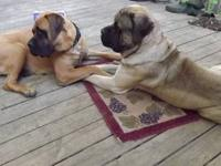 Mastiff Puppies~As of 07/21/13 they are 13 weeks old. I
