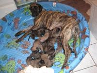These pups were born on Aug 2nd 2012 and will not be