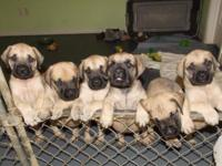 We have some gorgeous licensed English Mastiff young