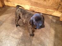 We got one female English mastiff puppy left.ready to