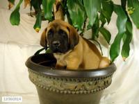12 week old apricot male english mastiff purebred for