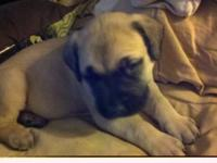 Very large female English Mastiff puppy for sale. She