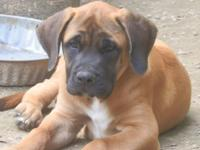 AKC English mastiff puppies for sale. 2 males and a