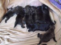 I have a litter of English Mastiff pups. 5 females & 3