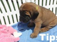 English Mastiff puppies AKC 5 brindle males and 2 fawn