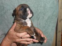 I have 5 English/Olde English Bulldog Pups for sale.