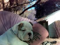 English/Olde English male bulldog pup for sale.