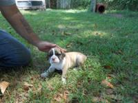 I have two male English/ Olde English bulldog puppies