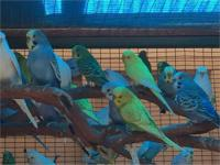 Hi im selling english parakeets i have over 30 for sale