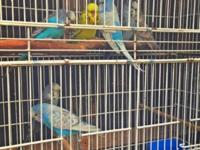 English Parakeets/Budgies, Mostly Blues and One Green.