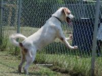 English Pointer - Bart - Medium - Young - Male - Dog Hi