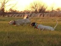 English Pointer, Male, 18 months old. Powder is a power