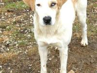 English Pointer - Missy - Medium - Young - Female -