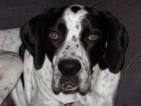 English Pointer - Oreo Retired Service Dog - Large -