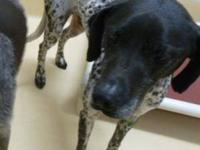English Pointer - Pepper - Small - Adult - Male - Dog I
