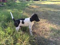 English Pointer Puppies, 10 weeks old. Already