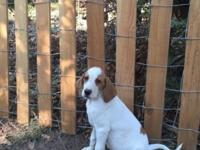 English Pointer Setter Puppies, 10 weeks old Very